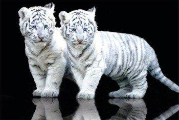 plakat WHITE TIGER - CUBS